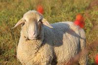 Schaf (Ovis)