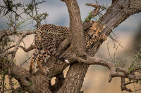 Cheetah cub squeezing through branches of tree