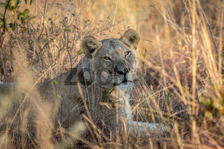 Lioness laying in the grass in the bush.