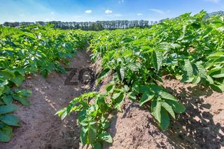 European landscape with potato field