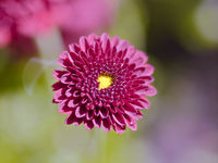 Red Flower Blossom On A Blurred Background