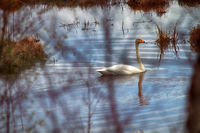Swan on the shore of a forest lake