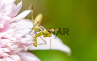 Young praying mantis on a pink flower