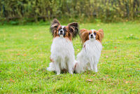 Portrait of a papillon purebreed dogs