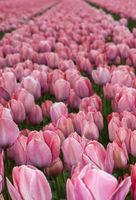 Feld mit gelben Tulpen der Sorte Mystic Van Eijk zur Produktion von Tulpenzwiebeln in der Blumenzwiebelregion Bollenstreek