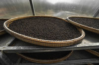 Black peppercorns drying in drying room or box on plates of reed on black pepper plantation. Drying of black peppercorns. Agriculture. Spices.