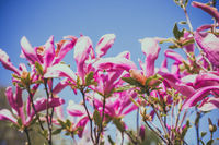 Flowers of magnolia on a branch pink