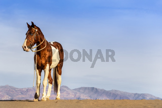 A Painted Horse Roams Through The American Desert Alone