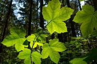 Blätter des Berg-Ahorn im Gegenlicht