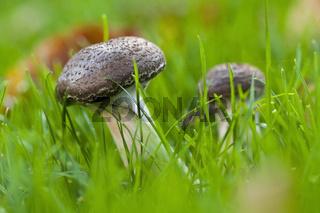 herbstliche Pilzgruppe im Gras