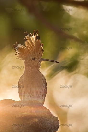 Silhouette of hoopoe, upupa epops, early in the sunny mornig.