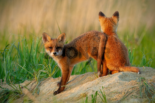 Red fox small young cubs near den playing