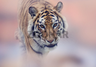 Walking Tiger portrait