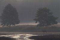 Rothirsch am fruehen Morgen