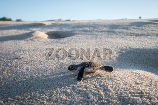 Green sea turtle hatchling on the beach.