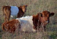 Lakenvelder Rinder in einer natürlichen Umbegung