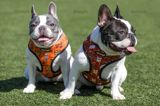 Two French Bulldogs Sitting and Resting.