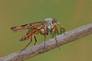 Gemeine Schnepfenfliege (Rhagio scolopaceus)