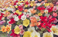 Tulip flowers meadow. Spring nature background