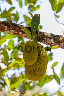 Jackfruit, Artocarpus Heterophyllus, Madagascar