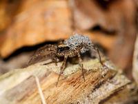 eine Spinne trägt ihren Nachwuchs auf dem Rücken