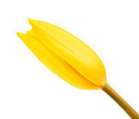 Yellow Tulip Flower Bud