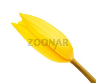 Yellow Tulip Flower Bud