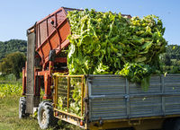 Loading tobacco leaves on truck.