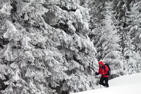 Hiker go on slope with new-fallen snow in snow-covered forest