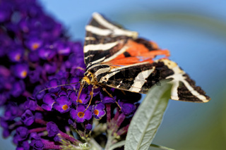 Spanische Flagge am Schmetterlingsflieder