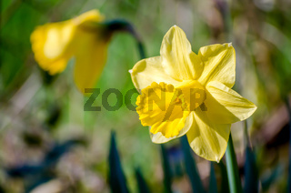 Yellow Narcissus - daffodil on a green background