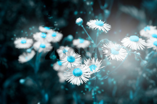 Beautiful daisy flower blossom on wild field in sunset light. Abstract nature background. Soft focus. Creative dark low key toned. Greeting card template. Copy space