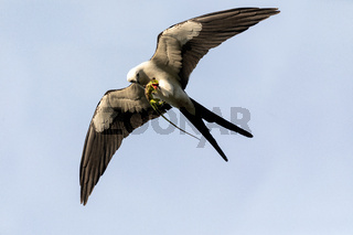 Flying swallow-tailed kite Elanoides forficatus with a Cuban knight anole