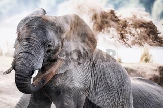 Afrikanischer Elefant wirft Sand, South Luangwa Nationalpark, Sambia, (Loxodonta africana) | african elephant throws sand, South Luangwa NP, Sambia, (Loxodonta africana)