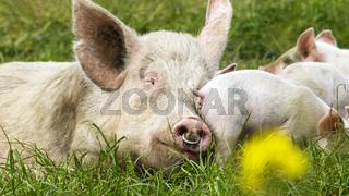Glückliche Schweine auf einer blühenden Wiese