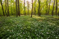 Spring forest landscape with blooming white anemones. Polish forest.