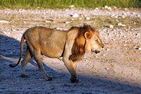 Löwenmännchen, Kgalagadi-Transfrontier-Nationalpark, Südafrika, (Panthera leo) | Male lion, Kgalagadi Transfrontier National Park, South Africa, (Panthera leo)