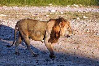 Löwenmännchen, Kgalagadi-Transfrontier-Nationalpark, Südafrika, (Panthera leo)   Male lion, Kgalagadi Transfrontier National Park, South Africa, (Panthera leo)