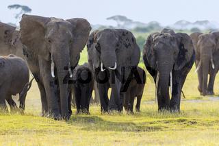Elephant herd, Amboseli, Africa