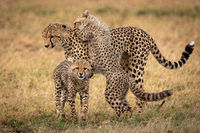 Cheetah stands in grass with two cubs