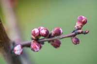 Flowers blossom on a tree apricot in the spring