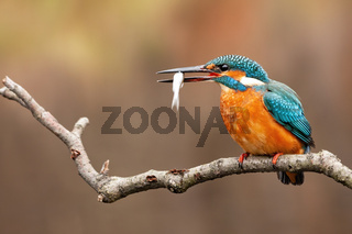 Common kingfisher, alcedo atthis, holding the little fish in its beak