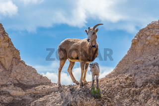 A female Bighorn Sheep in the field of Badlands National Park, South Dakota
