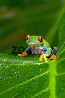 Rot-Äugiger Amazonas-Baum-Frosch (Agalychnis callidryas)