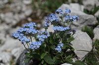 Alpen-Vergissmeinnicht