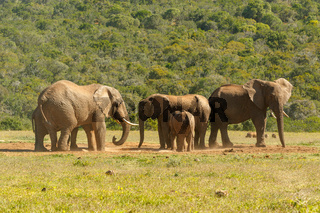 Elephant family bunching together at the dam