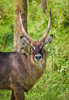 African antelope. Wildlife savanna in Africa.