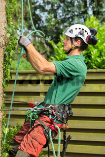 Caucasian arborist climbing in fir tree with rope