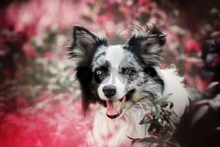 Border collie dog with mahonia branches