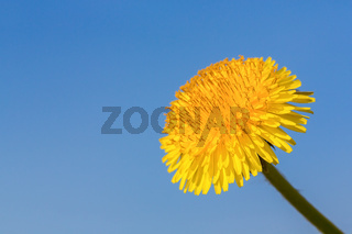 One flowering dandelion with blue sky